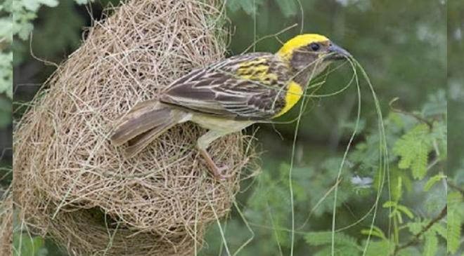Baya weaver sugran bird