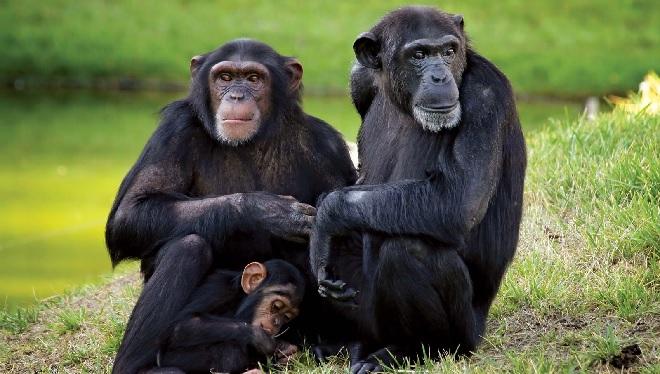 chimpanzee inmarathi