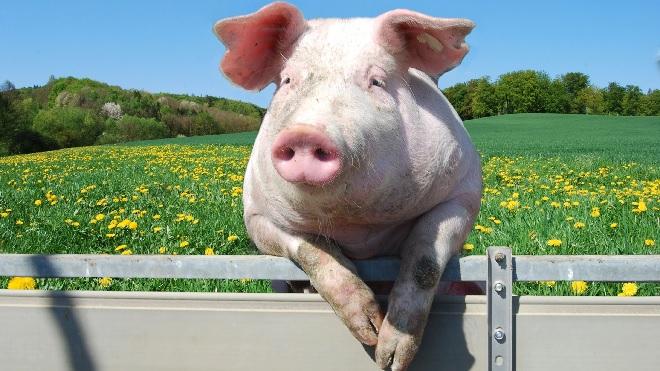 pig inmarathi
