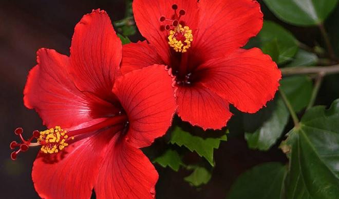 red jaswand inmarathi