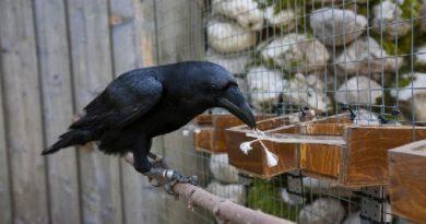 smart crow inmarathi